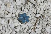 Kytička modrá - Lesní sklo