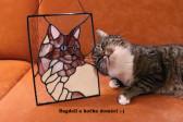 Ragdoll - kocour Damián - Lesní sklo